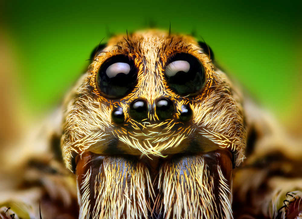 wolf spider.png